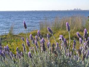 lavender_amp_bay