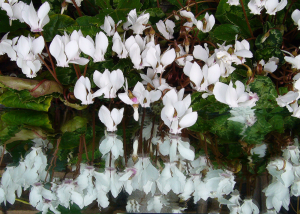 cyclamen_white_flower_reflections